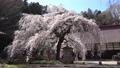 大隣寺 수양 벚나무 (후쿠시마 현 니혼 마쓰시) 76511178