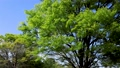 風に揺れる新緑の木の葉と青空 76523490
