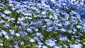 一面に咲くネモフィラの小さな花が風に揺れる 76523491