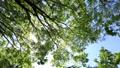 春の爽やかな晴天の日、風で揺れる葉の間から見える木漏れ日 76523493