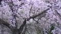 남호 신사의 楽翁桜 (후쿠시마 현 시라카와시) 76525120