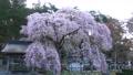 남호 신사의 楽翁桜 (후쿠시마 현 시라카와시) 76525121