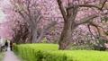 太い桜の木に咲いたたくさんの八重桜が風に揺れる、脇の小径を夫婦が歩く 76527461
