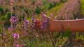 details female fingers on lavender shrubs 76534285