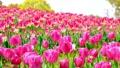 tulipa, tulip field, bloom 76537665