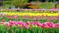 tulipa, tulip field, bloom 76537672
