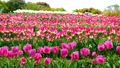 tulipa, tulip field, bloom 76537674