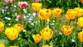 tulipa, tulip field, bloom 76537676