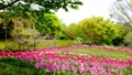 tulipa, tulip field, bloom 76537681