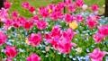 tulipa, tulip field, bloom 76537682