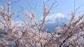 후지산과 벚꽃 76566625