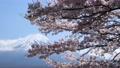 후지산과 벚꽃 76566627