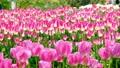tulipa, tulip field, flower garden 76572166