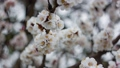 Springtime. Awakening of nature. Blooming Spring flowers. White flower, flowering in the garden of trees. 76579067