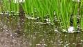 小川の草の間をゆっくり流れる桜の散った花びら 76602481