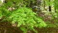 春の風にゆっくりと揺れる森のもみじ 76602482