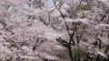 吉野櫻花盛開和櫻花落下的視頻 76611402