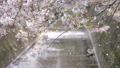 吉野櫻花盛開和櫻花落下的視頻 76611403