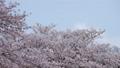 吉野櫻花盛開和櫻花落下的視頻 76611404