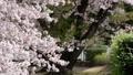 吉野櫻花盛開和櫻花落下的視頻 76611405