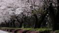 吉野櫻花盛開和櫻花落下的視頻 76611406