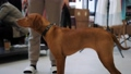 Red-haired smooth-haired dog standing at owner. 76619989