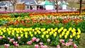 tulipa, tulip field, bloom 76632213