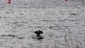 站在水面上的鳥 76632275