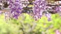wisteria, japanese wisteria, bloom 76632840