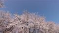 cherry blossom, cherry tree, flowers 76638017