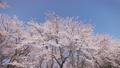 cherry blossom, cherry tree, flowers 76638019