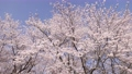 cherry blossom, cherry tree, flowers 76638021