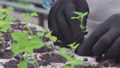 Busy farmer hands transplanting green seedlings in organic soil, plant breeding 76649056