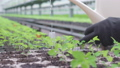 Worker watering green seedlings in greenhouse, plant breeding, agriculture 76649057