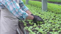 Man transplanting seedlings in pots with organic soil, working in greenhouse 76649059