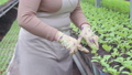 Woman taking care of seedlings in pots, working in greenhouse, agriculture 76649060