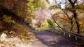 楓樹 紅楓 楓葉 76658022