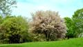 Wild mountain cherry tree 76667878