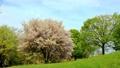 Wild mountain cherry tree 76667882