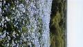 林草屬植物(一種園藝觀賞植物) 花朵 花 76669944