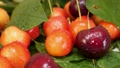 Red and Yellow Cherries Fruit with Water Drops and Tree Branch with Green Leaves 76680555