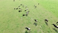cow, cattle, cows 76685533