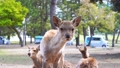 奈良の風景 奈良公園の登大路園地付近でこちらを見つめる仔鹿と鹿の群れ 76690805