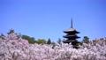春の京都の風景 仁和寺の満開見頃の御室桜の景色の複数カット 76690806