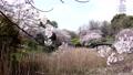 公園 櫻花 櫻 76744153