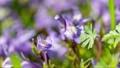 花開き立ち上がるムラサキサギゴケ タイムラプス 76759966