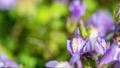 花開き立ち上がるムラサキサギゴケ タイムラプス 76759967