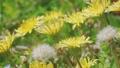 春の野原に群生するタンポポ アップ  76759968