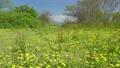 春の野原に群生するタンポポとスイバ  76759969