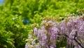 紫藤 植物 植物學 76781828
